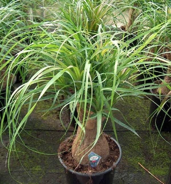 mangiafumo pianta piante appartamento mangiafumo