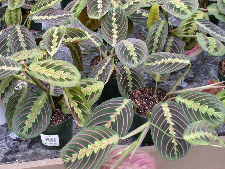 Maranta piante appartamento for Maranta pianta