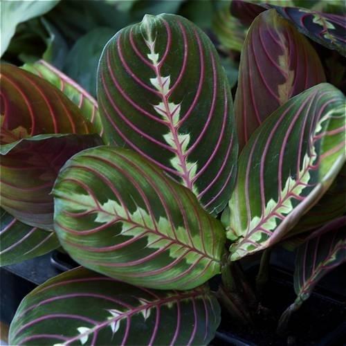 maranta piante appartamento