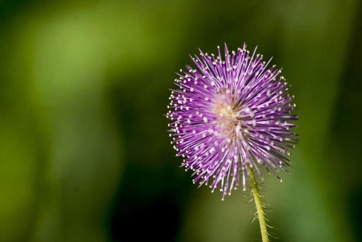 Rametto mimosa