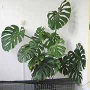 monstera pianta