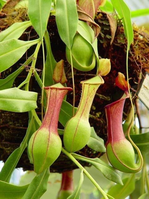Nepenthes piante appartamento for Pianta carnivora prezzo