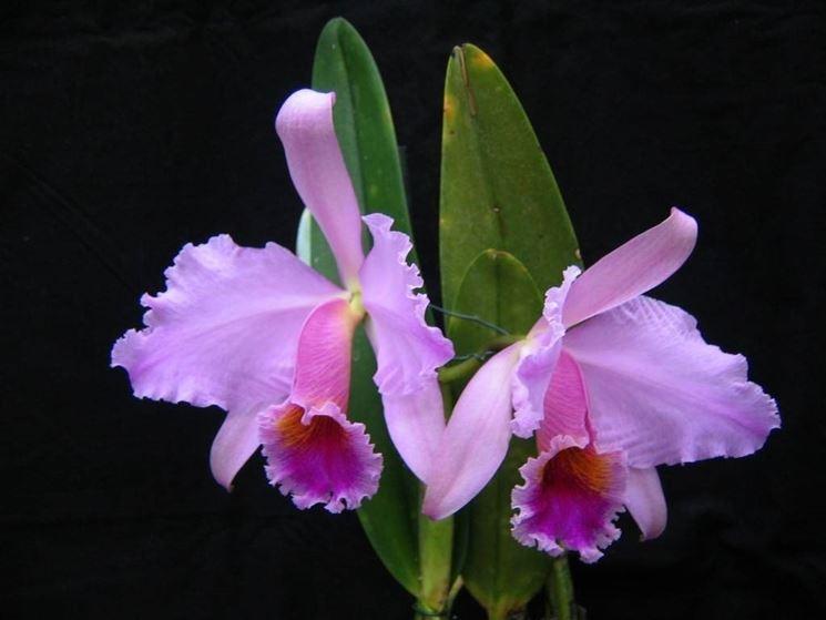 Orchidea cattlkeya