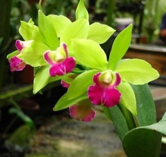 Orchidea cattlkeya piante appartamento specie di orchidea for Semi orchidea