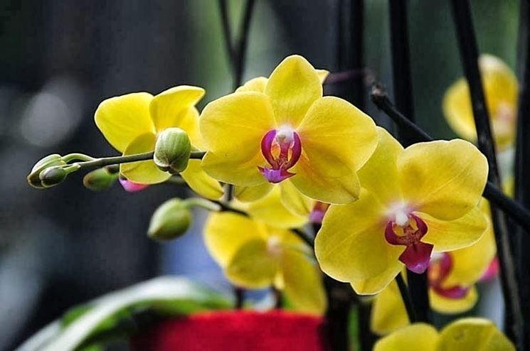 Orchidee come curarle piante appartamento come curare - Orchidee da appartamento ...