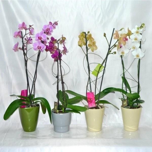 Orchidee come curarle piante appartamento come curare for Nuovo stelo orchidea
