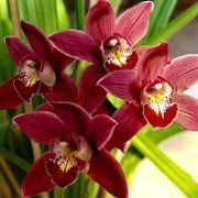 Fiore di orchidea Cymbidium