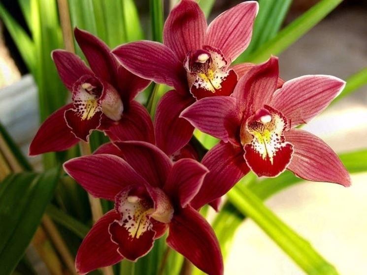 Orchidee cura piante appartamento orchidee come curarle - Orchidee da appartamento ...