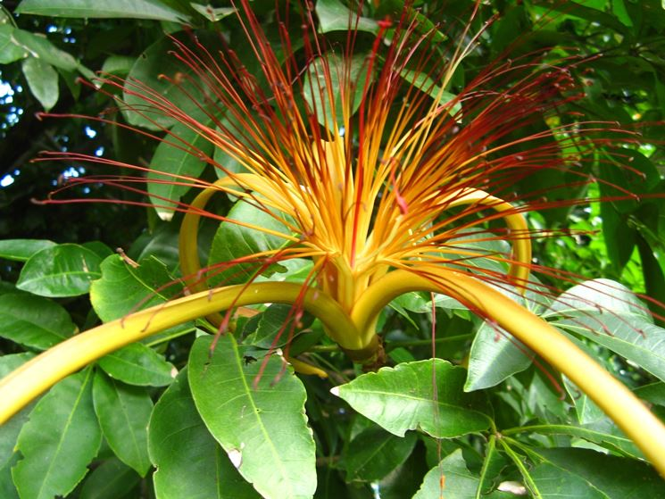 Fiore di Pachira