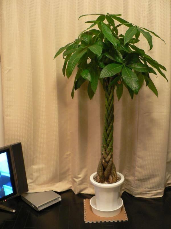 Pachira piante appartamento - Pachira pianta ...