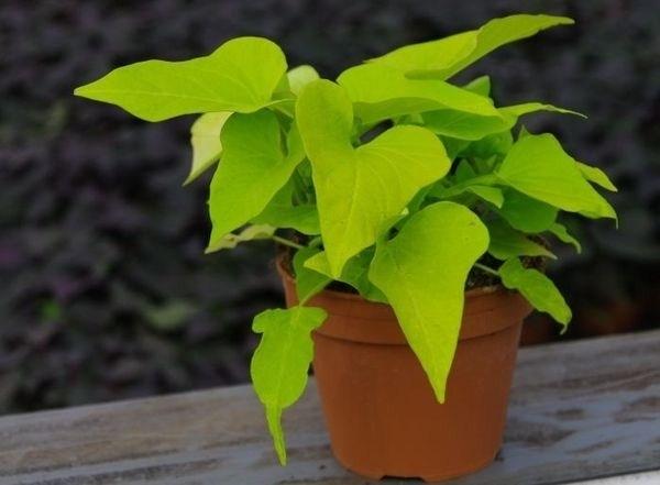 patata americana pianta piante appartamento patata