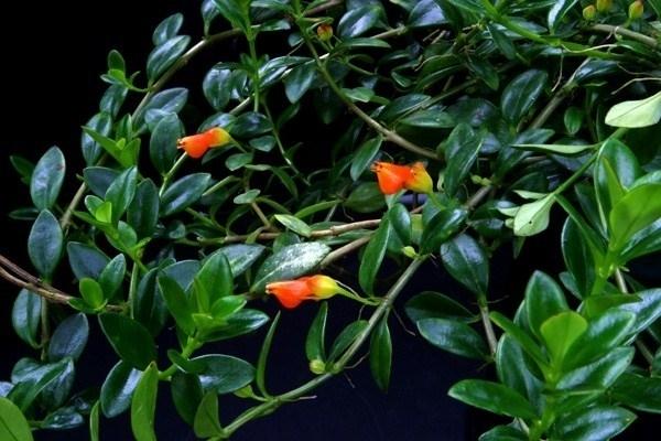 Pesciolini rossi piante appartamento la pianta dei - Fiori a campanella rossi ...