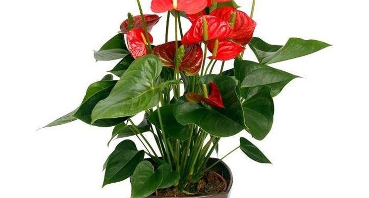 Anthurium a fiori rossi