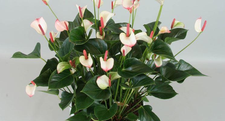 Anthurium a fiori bianchi