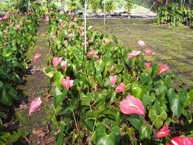 Piantagione di anthurium rosa