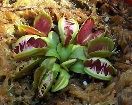 Pianta carnivora piante appartamento for Pianta carnivora dionea