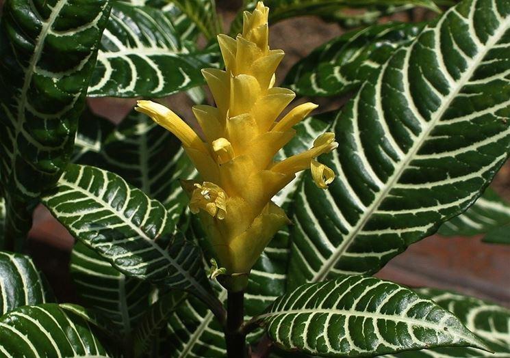 Fiore e foglie di Aphelandra