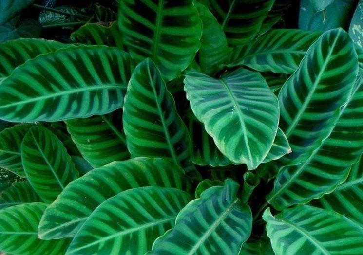 Fogliame della pianta di Calathea