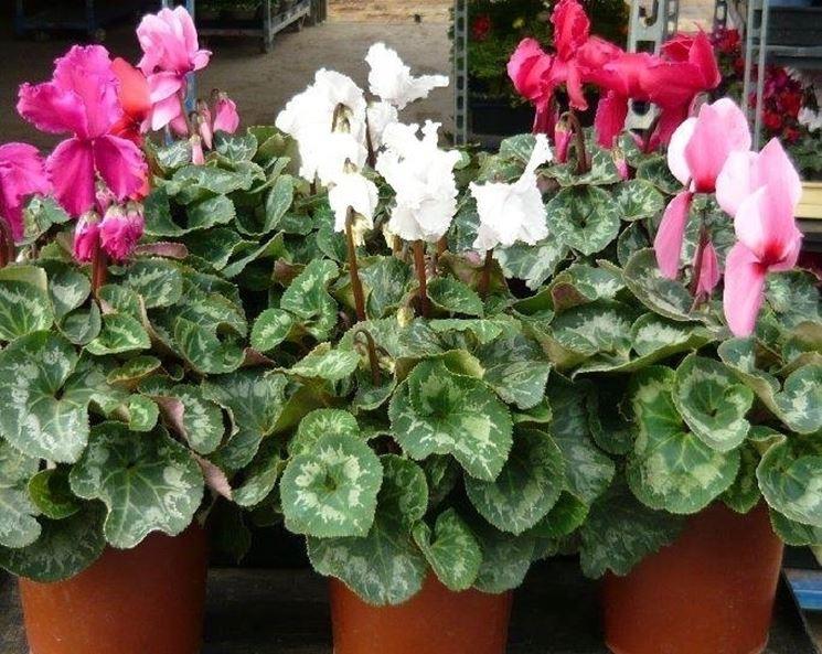 Pianta da interno - Piante appartamento - Caratteristiche delle piante da int...