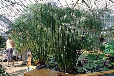papiro in giardino d'inverno