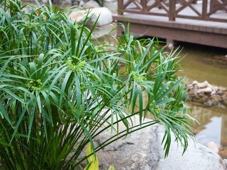 pianta di papiro