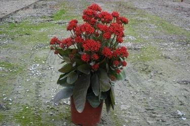 kalanchoe pianta in vaso