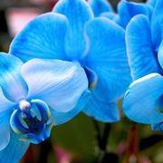 Fiori Phalaenopsis Blu ( colorati artificialmente )