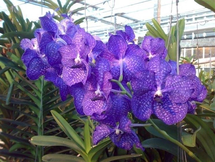 costo orchidea pianta orchidea piante appartamento caratteristiche