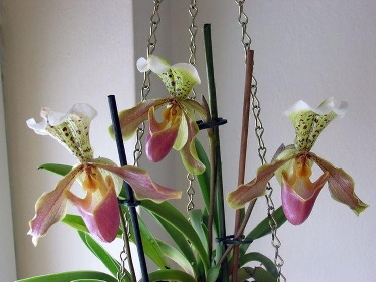 Orchidea Paphiopedilum