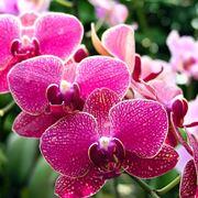 Pianta orchidea piante appartamento caratteristiche for Orchidea foglie gialle