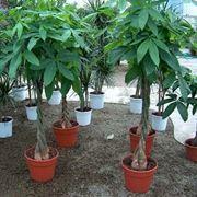 Esemplari di pianta pachira coltivati in vaso