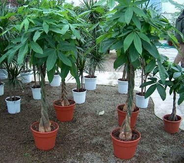 Esemplari di <strong>pianta pachira</strong> coltivati in vaso