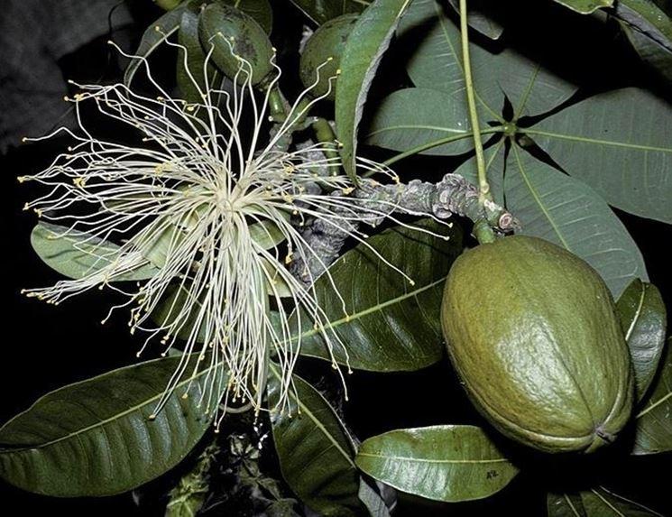 Il frutto della pianta pachira