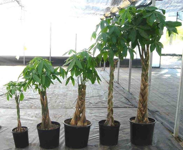 Esemplari di pianta pachira in diversi stadi della loro crescita