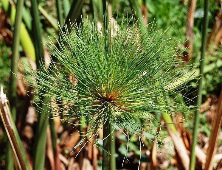 Esemplare di Cyperus papyrus