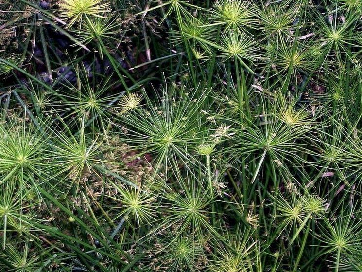 Varietà di Cyperus haspan