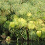 pianta papiro