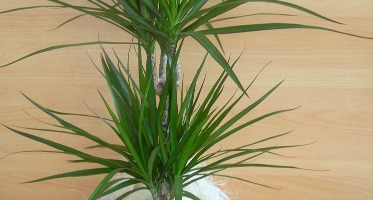 pianta tropicale piante appartamento pianta tropicale
