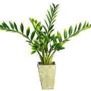 pianta zamioculcas