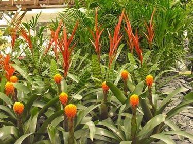 Esemplari di piante di zenzero