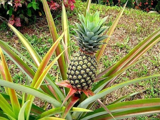 Piantare ananas piante appartamento come piantare ananas - Pianta ananas ...