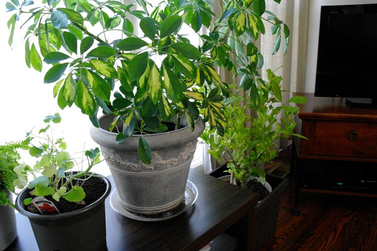Piante casa piante appartamento caratteristiche delle - Piante fiorite da appartamento ...