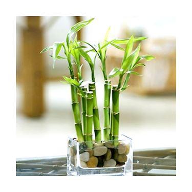Rami di pianta del bambù