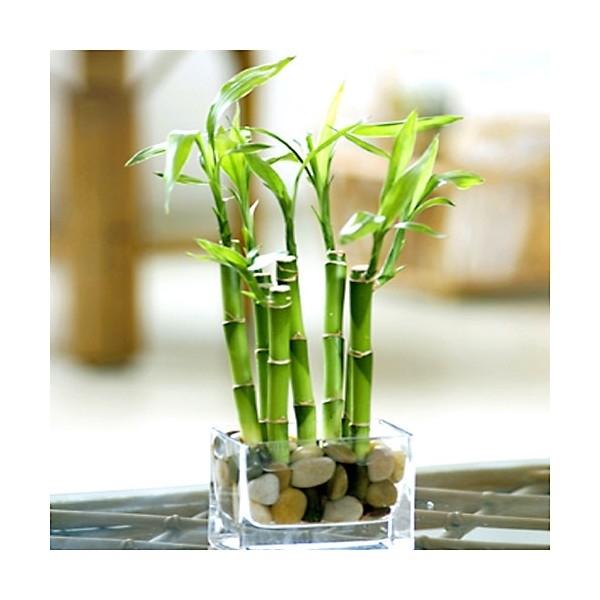 vendita piante bambu garofanini da vaso vendita