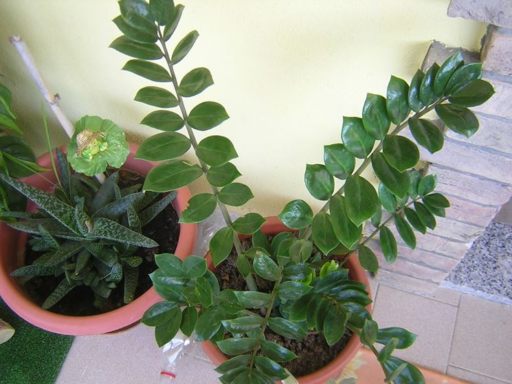 Piante da appartamento piante appartamento cura piante - Piante interno poca luce ...