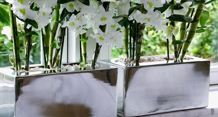 Dendrobium Nobile Bianco