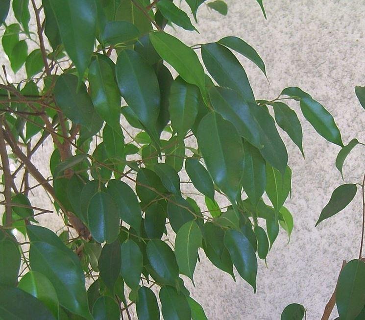 Un esemplare di Ficus benjamina