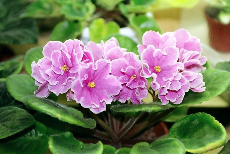 Un esemplare di violetta africana