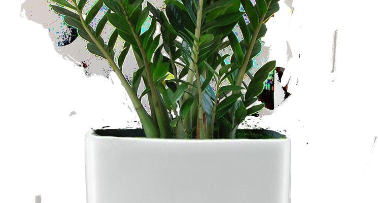 Zamia pianta da appartamento idee creative e innovative - Piante fiorite da appartamento ...