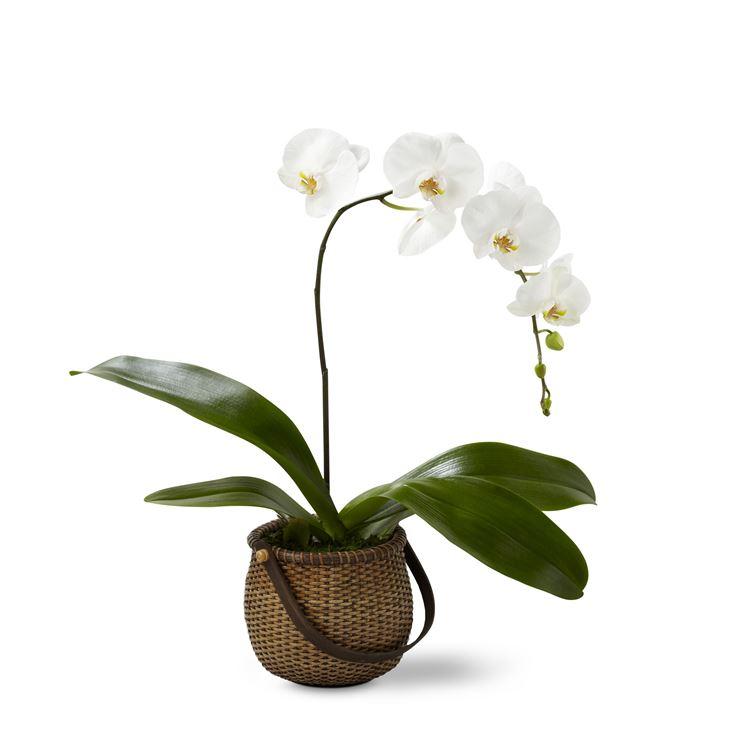 Piante da appartamento piante appartamento scegliere - Orchidee da appartamento ...